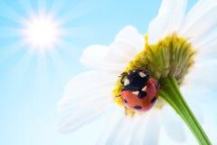 Ladybug on flower Royalty Free Stock Photo
