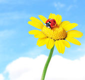 Ladybug in a flower Stock Photos