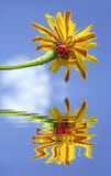 Ladybug on flower above water with reflection Royalty Free Stock Photos
