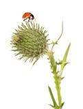 Ladybug, flower burdock isolated on white background Stock Images