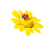 Ladybug in a flower-clippingpath Stock Photo