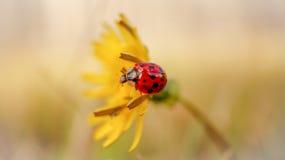 Ladybug on a Flower. Royalty Free Stock Photo