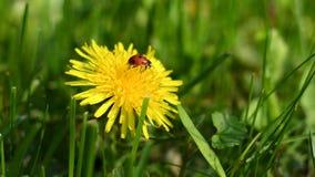 Ladybug on flower of dandelion. In grass stock video
