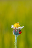 Ladybug on flower of grass Royalty Free Stock Photography