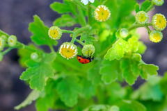 Ladybug and flower on a green background. Stock Photography
