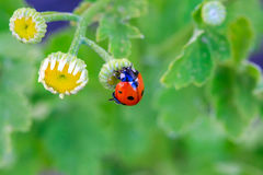 Ladybug and flower on a green background. Royalty Free Stock Images