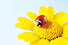 Ladybug in a flower isolated Royalty Free Stock Image