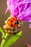 Ladybug on a flower a  macro Stock Photography