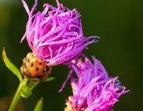 Ladybug on a flower a  macro Stock Image
