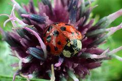 Ladybug on flower. Macro photography Stock Photos