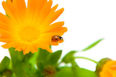 Ladybug and flower marigold on white background Royalty Free Stock Photo