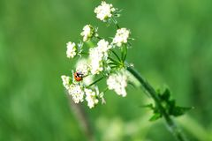 Ladybug on a flower in the meadow royalty free stock image