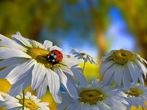 Ladybug. On a flower petal Stock Photos