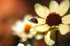 Ladybug on flower petal. A ladybug crawls along the petal of a white flower Stock Image