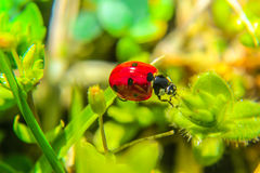 Ladybug on flower petal Royalty Free Stock Photo