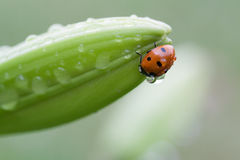 Ladybug on flower. After the rain Royalty Free Stock Photography