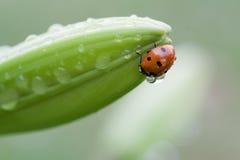 Ladybug on flower Royalty Free Stock Photography