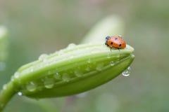 Ladybug on flower Royalty Free Stock Images