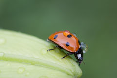 Ladybug on flower. After rain Royalty Free Stock Photography