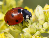 Ladybug on flower. A red ladybug on a blooming flower Royalty Free Stock Images