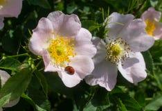 Ladybug on a flower of wild rose Stock Images