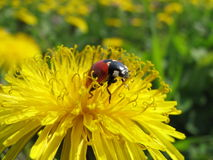 Ladybug and flower Royalty Free Stock Photo