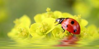 Ladybug on flowers Royalty Free Stock Photography