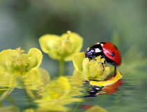 Ladybug on flowers Royalty Free Stock Images