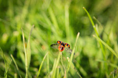 Ladybug flying Royalty Free Stock Photography