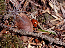 Ladybug. On the forest floor Stock Photography