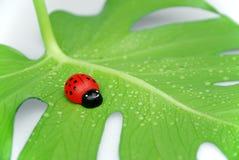 Ladybug fortunato Fotografia Stock
