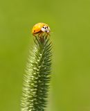 Ladybug on foxtail Royalty Free Stock Photos