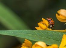 Ladybug in garden Royalty Free Stock Photography