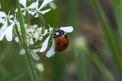 Ladybug in garden Royalty Free Stock Images