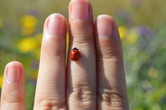 Red ladybug on girl`s fingers. Pretty red ladybug with black spots walking on a girl`s fingers. Outdoors natural background Royalty Free Stock Photos