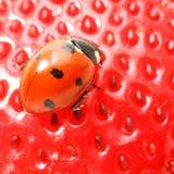 Ladybug gourmet Stock Photos