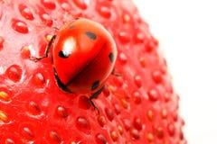 Ladybug gourmet Stock Photo