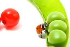 Ladybug gourmet Stock Photography
