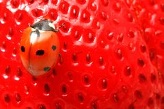 Ladybug gourmet Royalty Free Stock Photos