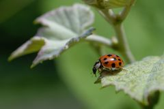 Ladybug on grape leaf Stock Photo