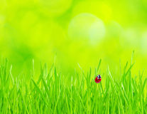 Ladybug on grass. Red ladybug on green grass isolated on green Royalty Free Stock Photo