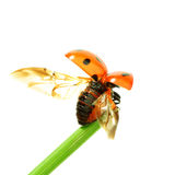 Ladybug on grass Royalty Free Stock Image