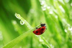 Ladybug on grass Royalty Free Stock Images