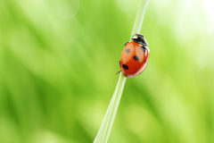 Ladybug on grass Stock Photos
