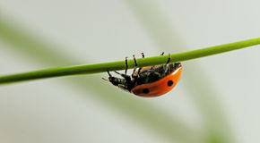 Ladybug on the grass. Stock Photography