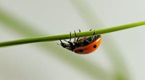 Ladybug on the grass. Stock Photography