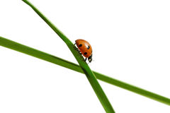 Ladybug on the grass. Stock Image