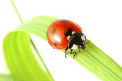 Ladybug on grass Stock Images