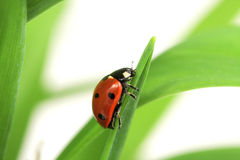 Ladybug in grass. Ladybug on green blade of grass, on white Royalty Free Stock Photos