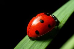 Ladybug on grass Stock Photography